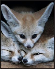 Fennec Fox Huddle I remember fashionistas wearing the skin and faces of these beautiful creatures around their shoulders. We have come a long (slow) way. Nature Animals, Animals And Pets, Beautiful Creatures, Animals Beautiful, Cute Baby Animals, Funny Animals, Fuchs Baby, Fuchs Illustration, Fennec Fox