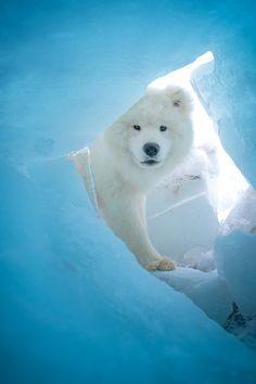Samoyed or Polar Bear by Emil Eriksson*