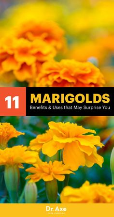 You've likely seen brightly orange-colored marigolds in flower or vegetable gardens many times before, but did you know that certain species of marigold flowers actually have many impressive health benefits as well? Herbal Remedies, Health Remedies, Natural Remedies, Severe Insomnia, Herbs For Sleep, Herbs List, Vegetable Garden Tips, Marigold Flower
