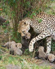 Cheetah family #BigCatFamily