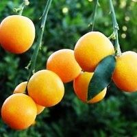 """Citrus japonica """"Marumi"""", Kumquat """"Marumi"""" is considered to be the most cold hardy citrus tree;  The white flowers and orange fruit are fragrant and the peel is thin, sweet, and the overall flavor is balanced-sweet and sour- and spicy. It isn't damaged by temperatures of 10 degrees F, however, even at colder temperatures, the Kumquat tree will lose its leaves at 0 degrees F, but the leaves will usually regrow. I did my research and I think with good winter protection they would be hardy zone…"""