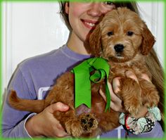 Check out our list of all upcoming Goldendoodle litters and Double Doodle litters below. Please fill out the puppy application and we will contact you. Toy Goldendoodle, Double Doodle, Breads, Doodles, Puppies, Dogs, Character, Animals, Bread Rolls