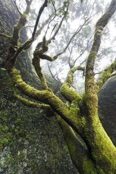 Garoe tree, El Hierro, Canary Islands