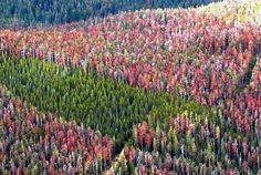 A forest in decline: in Colorado and S. Wyoming 100,000 trees fall per day to the pine beetle epidemic, and in western Canada it's worse with 54 million acres of forests in decline and threatening the release of 4.5 billion tons of CO2.     Biochar can be part of the salvage operation for such forests, and Biochar Solutions in Colorado offers the carbon-negative technology to meet the emergency.