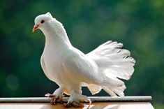 """Pigeons and doves are the Columbidae family of birds and the Columbiformes order, which includes around 42 genera and 310 species. The related word """"Columbine"""" refers to pigeons and doves. Peace Pigeon, Feral Pigeon, Hms Beagle, White Pigeon, Homing Pigeons, Pigeon Breeds, Origin Of Species, Selective Breeding, Most Favorite"""