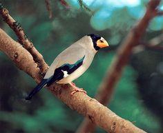 https://flic.kr/p/47yr82 | #146 桑鳲針林 | 桑鳲.攝於台灣 台北縣金山 Japanese Grosbeak, taken at Chinshan, Taiwan.