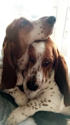 Missing my Bassets, DD and Coco soooo much. Don't think I will ever see them again