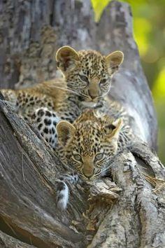 Mombo Babies ~ Leopard Cubs