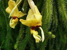 Stanhopea novogaliciana