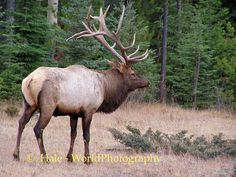a familiar site around Jasper, beautiful animals but dangerous so keep your distance!!