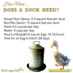 Duck needs