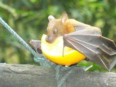 Bat NOM.
