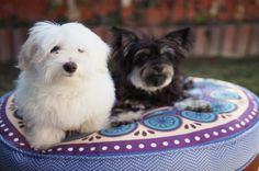 Maltese Mix Breed Black and White  For more information about Maltipoo dogs visit https://www.teacupdogdaily.com/maltipoo-breed/