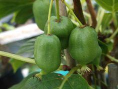 Grønnkattebusk Planters, Stuffed Peppers, Vegetables, Food, Veggies, Vegetable Recipes, Meals, Plant, Window Boxes