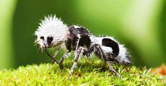Découvrez la fourmi-panda, cet adorable insecte chilien à la piqûre extrêmement douloureuse | SooCurious