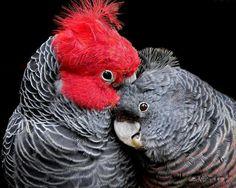 Gang-gang cockatoo, male and female