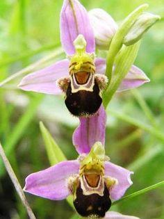 orquídeas - 10 sementes - orquídea abelha - exótica