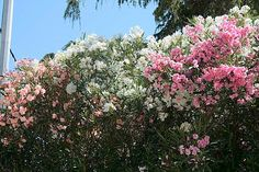 1000 images about les haies de jardin on pinterest hay - Haie de laurier rose ...