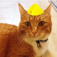 I could not fit a hat any more perfectly between my ears than this  Please help cats & kids with your purchase or donation at yellowhatsforcats.com  #perfectfit #perfectfitaward #orangetabby #cats #catsofinstagram #whiskerwednesday #purrfect #shopforacause #donate #cute #beauty #supportyourshelter #adoptdontshop : @bustertheorangetabby