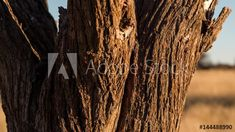 Stock Footage of A close-up static timelapse of the bark of an Acacia tree at sunset in the South African Savanna Bushveld, Kalahari desert with tall grass in the background,focus pull. Explore similar videos at Adobe Stock African Sunset, Acacia, Stock Video, Stock Footage, Close Up, Grass, Landscape, Nature Tree, Sunsets