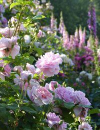 Englische Rosen im Cottage-Garten (Foto: MSG/Schmutz)