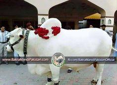 Yeh Hai woh WHITE Beauty Jiski Pichli Post Men Baat ki ! Yeh Share Laazmi Kerain Mashaa Allah Likh ker ! <3 <3 <3 only by Bakra Mandi Pakistan Join us on www.fb.com/Startfun Visit us www.BakraMandiPakistan.com