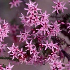 Calytrix tetragona - common fringe myrtle. This fine-foliaged shrub will grow to 1 m high and wide, with a massed display of starry white flowers in spring. Suitable for well-drained, dry or coastal gardens. Responds well to pruning.