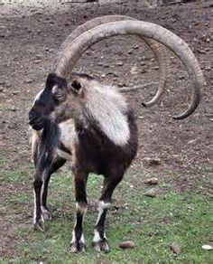 Bezoar Goat - Saferbrowser Yahoo Image Search Results