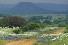 Willow City Loop-White Poppies and Blubonnets by Erik Pronske, via Flickr