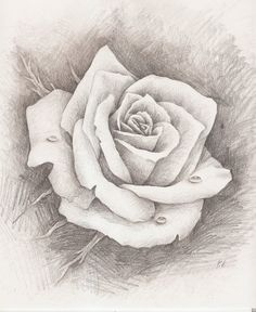 Pencil Drawing Of Rose Rose Sketches Beginners Related Keywords Amp Suggestions Rose - Drawing Pencil Sketch Rose Drawing Pencil, Pencil Drawings Of Flowers, Pencil Drawing Tutorials, Flower Sketches, Pencil Art, Animal Drawings, Art Drawings, Drawing Flowers, Flower Sketch Pencil