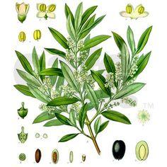 Olive branch, leaf, flower, and fruit illustration.
