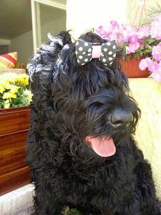 Mickaela Black russian Terrier