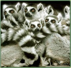 Ring-Tailed Lemurs (Lemur catta), Madagascar.  These small primates are known as 'prosimians,' meaning 'before monkeys.'