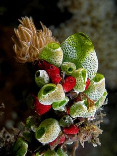 Sea Squirts / Christmas tree worm
