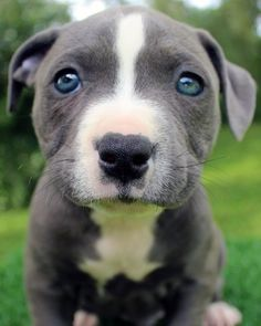 Pin By Razzaaq On Bluefirepits Blue Pitbull Puppies For