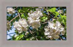 #AnnaMatveeva #Photographers #FineArtAmerica #ForSale #PrintsForSale #FineArtPrints #ArtHome #Artdecor #Decor #Homedecor #Beautiful #WoodPrints #MetalPrint #FogFramedPrint #White #AppleBlossoms #Garden       http://anna-matveeva.pixels.com/