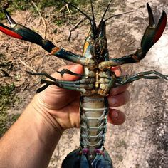 Australian Red Claw Crayfish / freshwater lobster grow quite large in the systems. 1/3 of their bodies are edible tail meat and taste amazing.