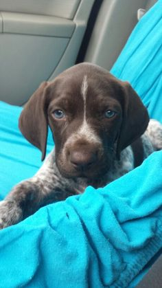 Blue eyed German short haired pointer puppy