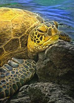 Head cushion - turtle resting on lava rock by rubinphoto Turtle basking on lava rock at Kiholo Bay, Hawaii