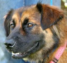 Pandora is an adoptable Shepherd Dog in Chipley, FL. Pandora is a 2 1/2 year old female shepherd cross, about 35 pounds. She is a lovely young lady who is ready to go. She is spayed, housebroken, up t...