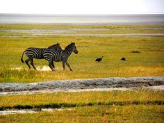 zebras in Tarangire National Park Tanzania Africa safari