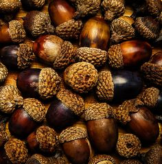 macro photography acorns autumn fall 8x8 by FayeWhitePhotography, $25.00