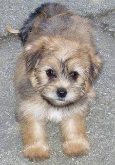 8 Best Puppy Poochies Images Maltese Yorkie Puppy Pomeranians Puppys