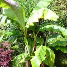 Un bananier d'extérieur rustique : le musa basjoo, dit bananier du Japon