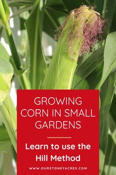 Learn how to grow corn in small backyard gardens using the Hilling Method. This gardening trick will get you a good crop of corn in a small vegetable garden. vegetable garden Growing Corn in Small Gardens Backyard Vegetable Gardens, Small Backyard Gardens, Backyard Farming, Small Gardens, Planting Vegetables, Organic Vegetables, Growing Vegetables, Planting Shrubs, Planting Seeds
