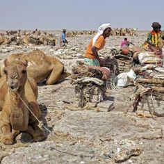 Dromadaires et chameaux qui sont prêt à se charger,Afars