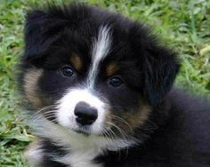Lil Australian Shepard puppy - this is going to be my first puppy dog:)