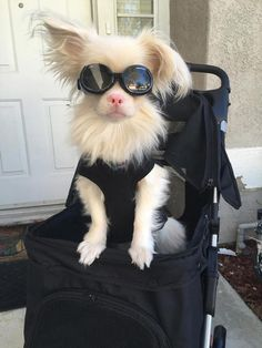 Albino puppy wears goggles to protect his eyes