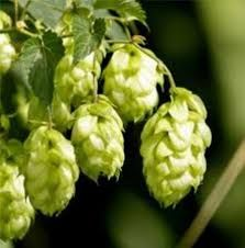 Hops - It could increase the heart beat of your dog, cause him to pant more often, give him fever and seizures. In some instances, it could cause him to die. Omelette, Sensory Garden, Dog Anxiety, Healthy Recipes, Beer Label, Bushcraft, Cauliflower, Vines, Vegetables