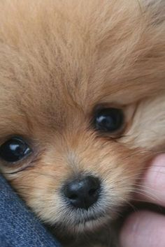 All About Playfull Pomeranian Puppies Size - Hundefotos - Dogs Cute Funny Animals, Cute Baby Animals, Animals And Pets, Cute Puppies, Cute Dogs, Dogs And Puppies, Doggies, Cute Pomeranian, Chocolate Pomeranian